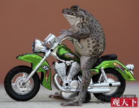 泰国神奇蟾蜍Oui会骑摩托车滑滑板插图